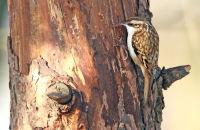 (1) Treecreeper
