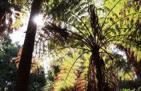 Australian Tree Ferns