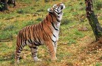 (v) Amur Tiger 'Dominika' (Panthera tigris altaica)