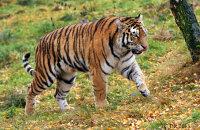 (vi) Amur Tiger 'Dominika' (Panthera tigris altaica)