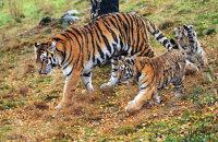 (vii) Amur Tiger 'Dominika' (Panthera tigris altaica) with her cubs
