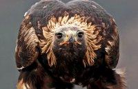 (iv) Golden Eagle (Aquila chrysaetos)