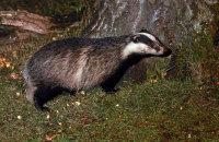 (v) European Badger (Meles meles)
