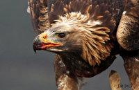 (v) Golden Eagle (Aquila chrysaetos)