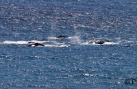 A pod of Humpbacks (see the whales gallery for more images)
