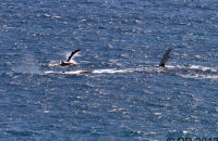 Migrating Humpback Whales seen from the walks around Cape Naturaliste, W.A.