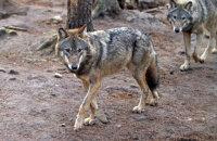 (i) European Grey Wolf  (Canis lupus)