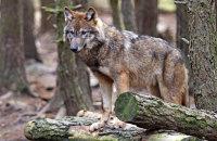 (ii) European Grey Wolf  (Canis lupus)