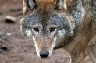(iii) European Grey Wolf  (Canis lupus)