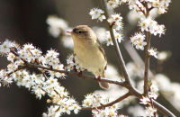 Willow Warbler and Spring blossom