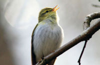 Wood Warbler singing in the Wyre Forest