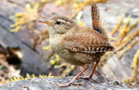 Wren in typical pose