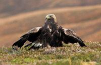 (vi) Golden Eagle (Aquila chrysaetos)