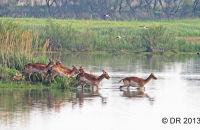 (1) Fallow Deer crossing a shallow lake