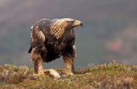 (vii) Golden Eagle (Aquila chrysaetos)