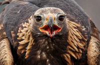 (viii) Golden Eagle (Aquila chrysaetos)