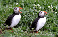 "Puffins in the nesting area (Fratercula arctica)  ""Been waiting long?"""