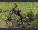 African wild dogs at play