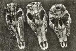 Three Sheep Skulls