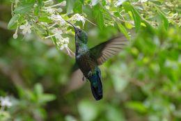 Humming-Bird-Flight