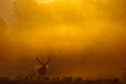 Stag Sunrise
