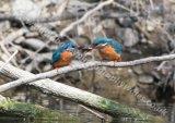 Kingfisher feeding mate