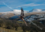 Red Kite in the Brecon Beacons