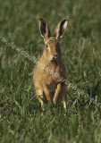 Hare on lookout