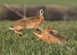 Hares Boxing 1