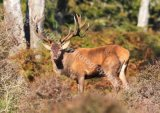 New Forest Stag
