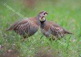 Red-legged Partridges