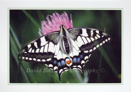 Swallowtail butterfly, Norfolk Broads