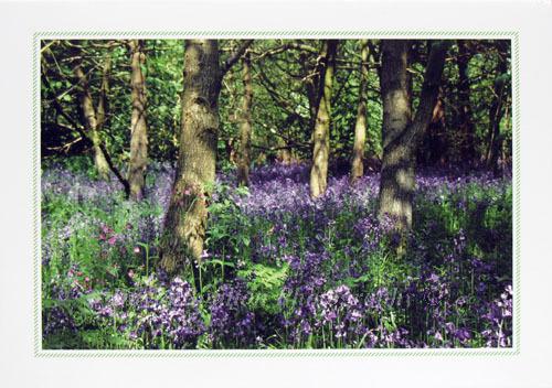 Bluebells, Strumpshaw, Norfolk