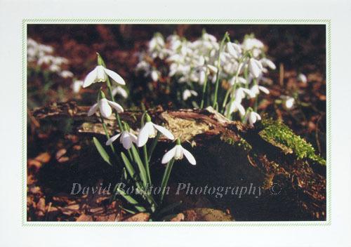 Snowdrops, Woodbastwick, Norfolk