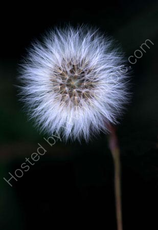 Dandilion seed head