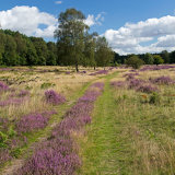 Clumber Heather