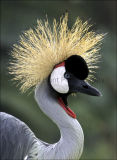 Crowned Crane - (Balerica regulorum)