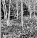 Himalayan Silver Birch