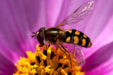 Hoverfly  (Syrphidae) on purple cosmos flower