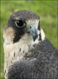 Peregrine Falcon - (Falco - Peregrinus)