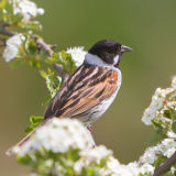 Reed Bunting on Blossom
