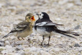 Pied Wagtail and chick