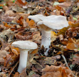 Clouded Funnel cap