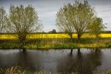 Rape seed - Grantham Canal