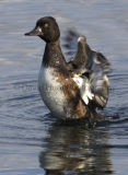 Tufted Duck - (Athya Fuligula)