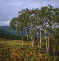 Glen Etive Birch Trees