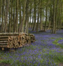 Bluebells in Nidderdale