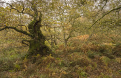 The Old Oak tree in Guissecliff woods