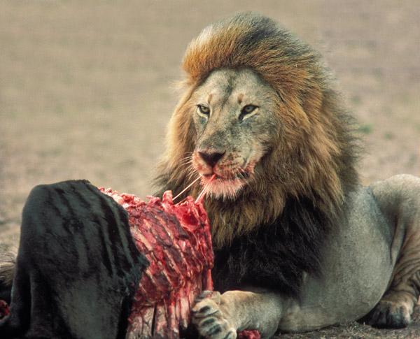 Feeding Lion Stock Photography - Image: 22431202