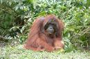 Orangutan(Pongo pygmaeus)
